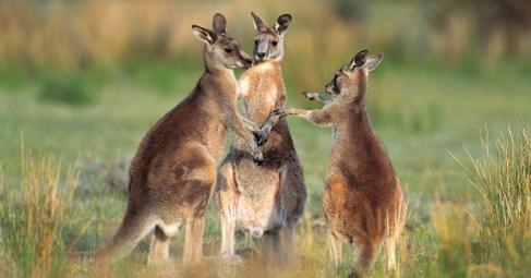 Kangaroos - Crowd or mob 002