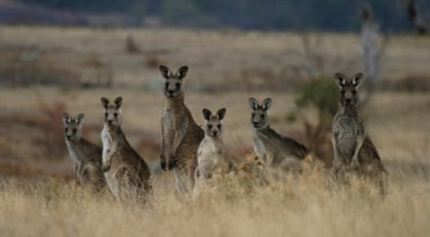 Kangaroos - Crowd or mob 004