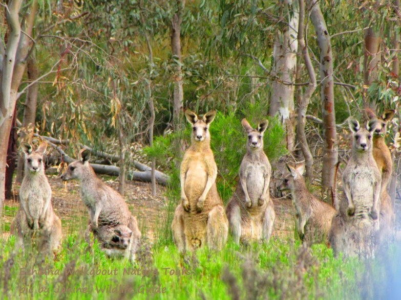 Kangaroos - Crowd or mob 005