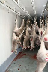 Kangaroos - Killed in trucks and storage 002
