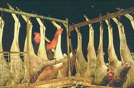 Kangaroos - Killed in trucks and storage 006