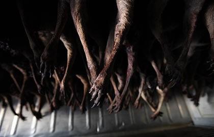 Kangaroos - Killed in trucks and storage 008