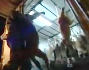 Kangaroos - Killed in trucks and storage 024