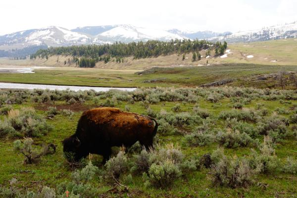 An Epic Experiment: Can America's Great Plains Bison ...