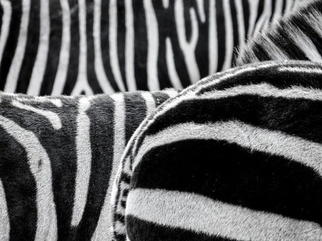 zebra-470358_1920