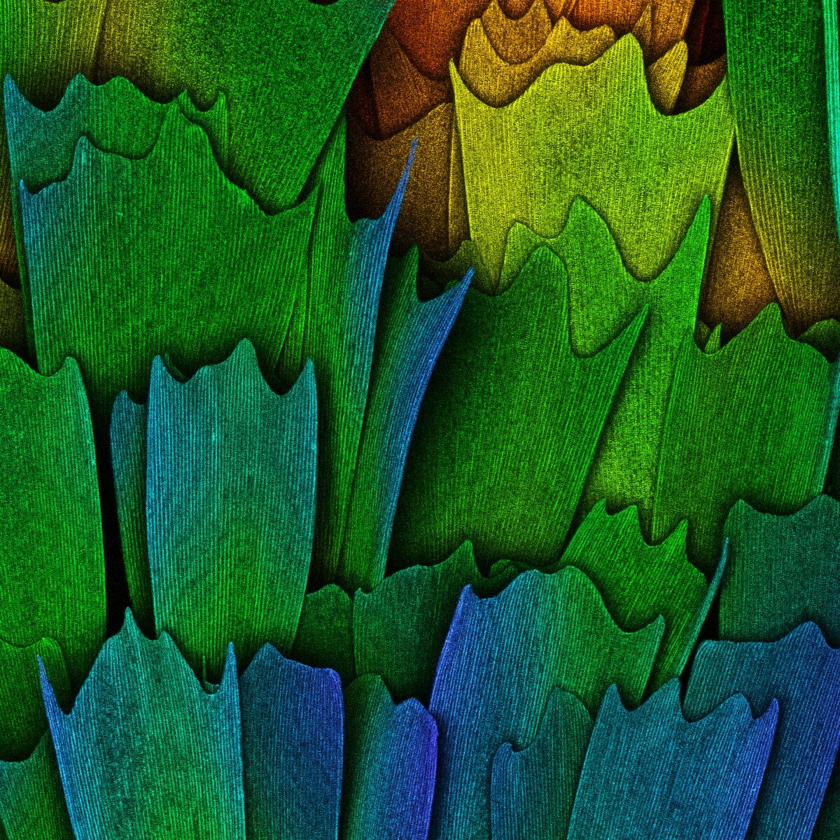 Scales of a butterfly wing