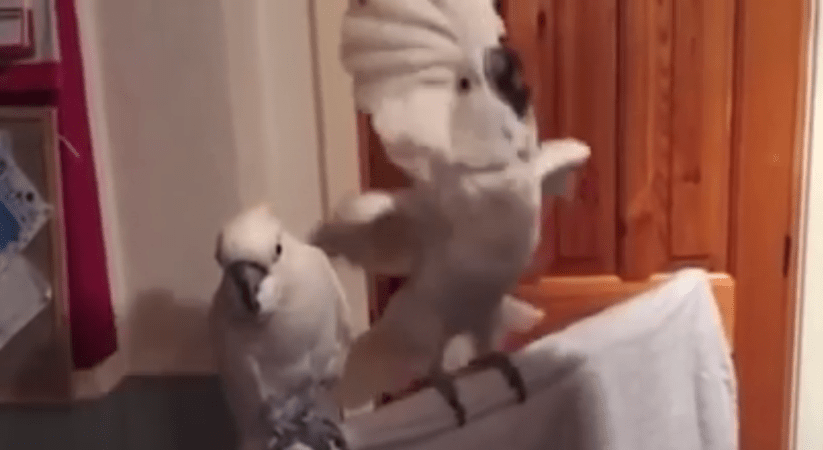 Cockatoo Rockin' Out to Elvis