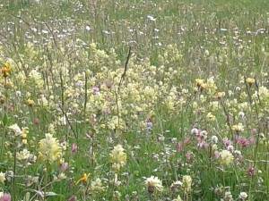 Alpine flowers - Dolomites