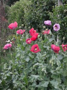 Hampton Court poppies
