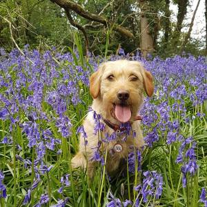 dog in bluebells