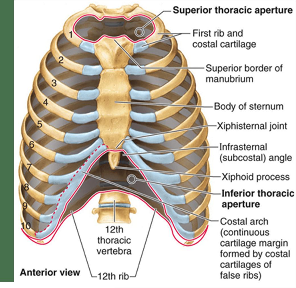 Thoracic Chest Amp Rib Pain