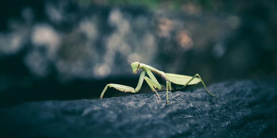 Praying Mantis While walking through the Takachiho Gorge in Southern Japan we came across this guy walking along a hand rail. It's kind of cool being in Japan and finding one of these. I've always seen them around Southern California as a kid, but it's been awhile since I've seen one.