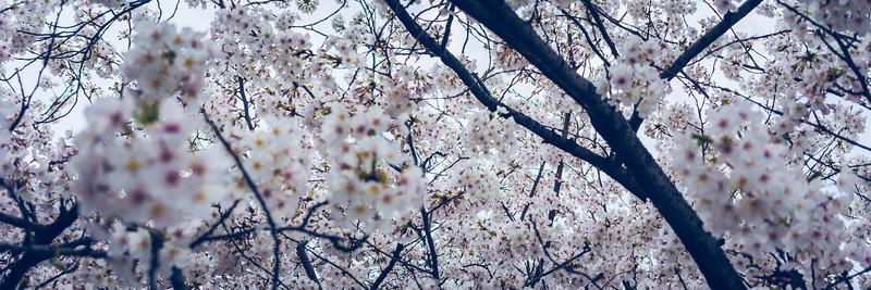 Cherry Blossom Skies