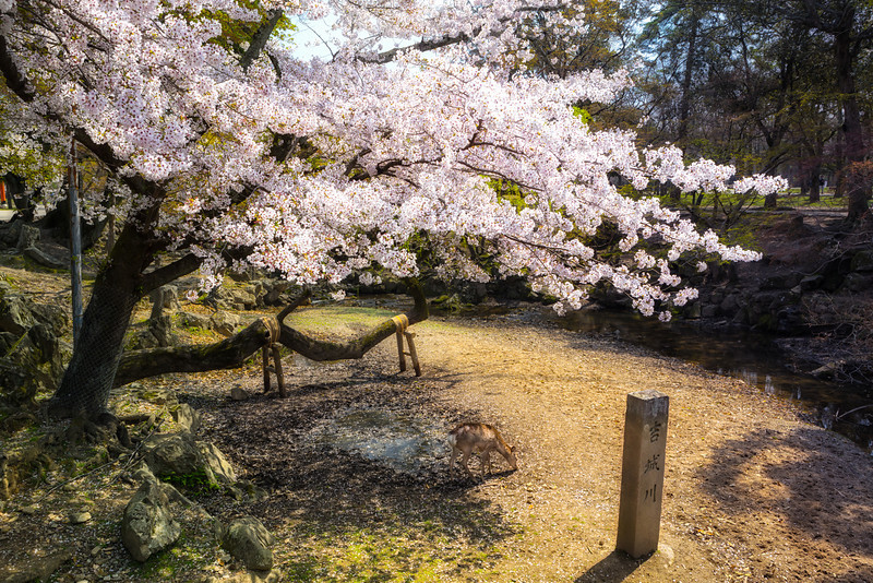 Deer Amoung The Cherry Blossoms or Sakura