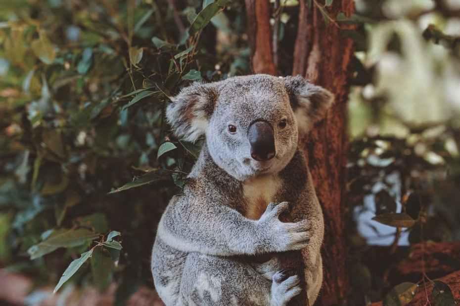 دب الكوالا