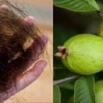 Las hojas de la guayaba pueden detener en un 100% la pérdida del cabello y hacerlo crecer como loco