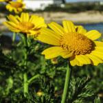14 propiedades y usos medicinales de la Árnica o tabaco de montaña