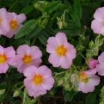 Flores de Bach: Rock Rose