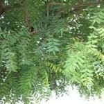 Propiedades medicinales del neem