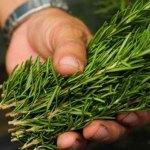 Sabías Que Si Inhalas Esta Planta Puedes Aumentar Tu Memoria En Más De Un 75%