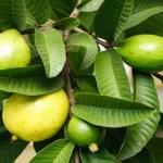 17 Increíbles Beneficios De Las Hojas De Guayaba Para Su Cabello, Piel Y Salud
