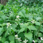 Esta maravillosa planta desinflama la próstata, previene el cáncer y reduce la diabetes