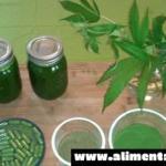 Los beneficios impactantes de hacer jugo de Cannabis, demostrando que realmente es un verdadero superalimento