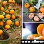 No comprarás mandarinas otra vez, al plantarlas en una maceta siempre tendrás cientos de ellas..!!