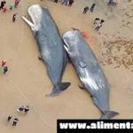 Ballenas encontradas muertas en Alemania, estómagos llenos de plástico y piezas de automóviles