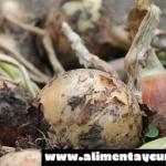 Cultivo de cebolla en maceta en el huerto urbano ecológico