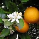 Usos medicinales y aplicaciones curativas del naranjo