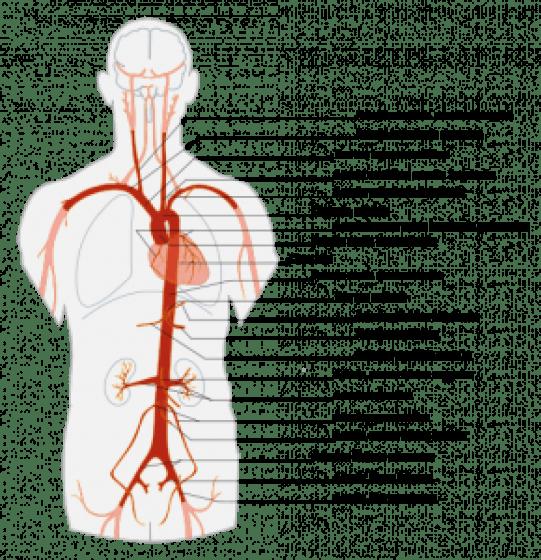 Aorta – Definición, función, anatomía, ramas, condiciones - Alimenta ...