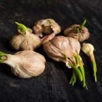 Beneficios de los ajos germinados.