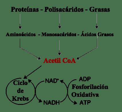 Catabolismo – Que es, biologia, hormonas, ejemplos