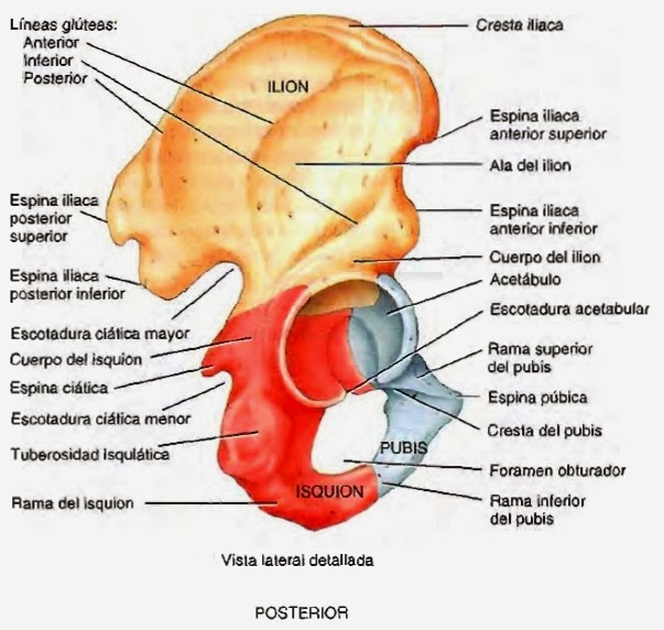 Hueso coxal – Que es, definición, anatomía - Alimenta y Cura