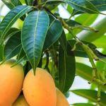 ¿Cómo las hojas de mango pueden tratar a la diabetes?