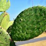 La chumbera, la planta de la vida, es capaz de curar más de 5 enfermedades mortales.