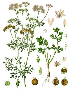Coriandrum sativum - Köhler–s Medizinal-Pflanzen-193.jpg