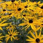 Plantas Medicinales: La Árnica