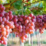 encuentran compuestos en uva que incrementan energía de células renales y mejoran su funcionamiento