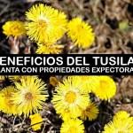 Tusilago: Beneficios de su consumo para tratar la tos y otros males