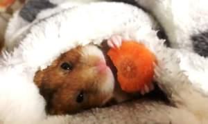 Adorabilul hamster care mănâncă un morcov înainte de culcare