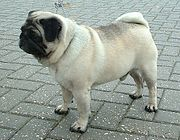 If you have a very short, flat snout, you're brachycephalic. Picture source: https://upload.wikimedia.org/wikipedia/commons/thumb/9/9a/Pug_600.jpg/180px-Pug_600.jpg.