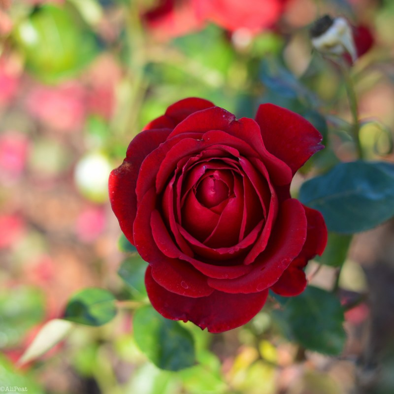 red-rose-queen-marys-garden