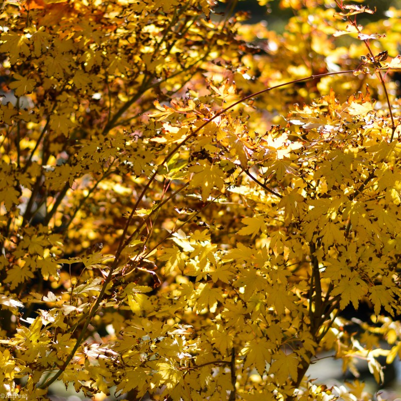 regents-park-yellow-autumn-leaves