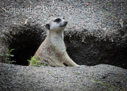 Meerkat-Animal Kingdom