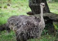 Ostrich-Animal Kingdom