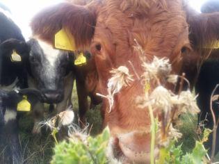 Nosy Cows