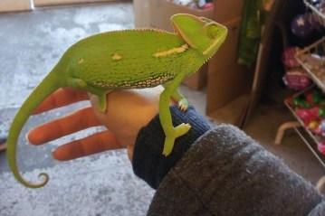 Adult Chameleon