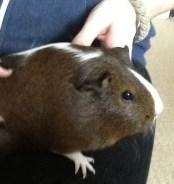 Guinea Pig, Caspian